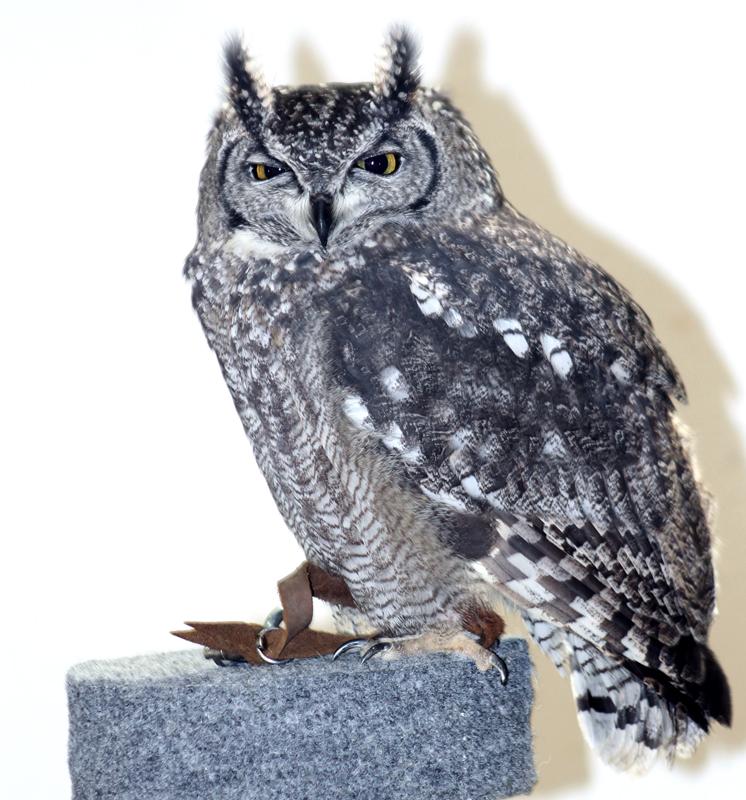 Owl-1 6022