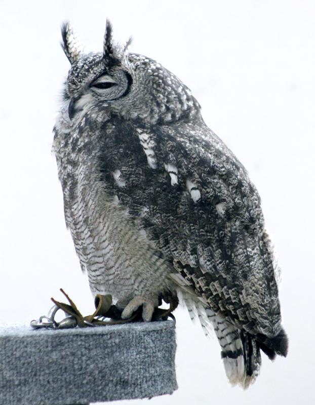 Owl-2 6199