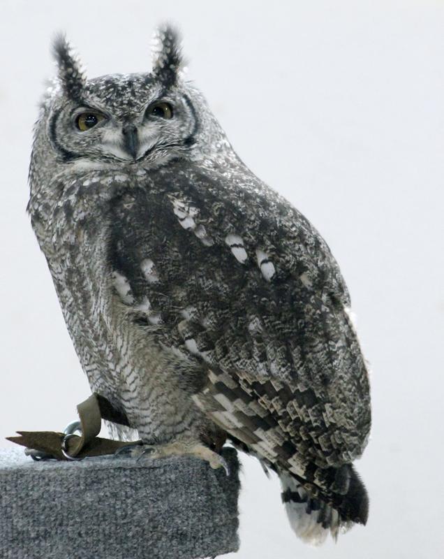 Owl-3 6133