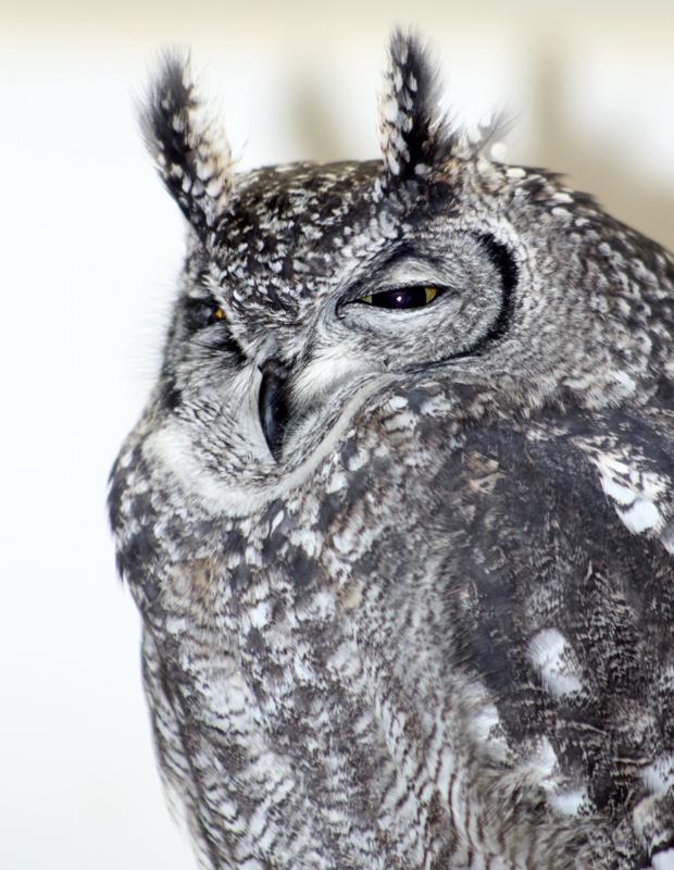 Owl-4 6048