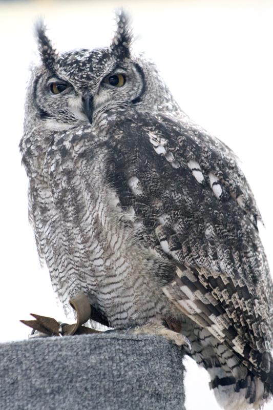 Owl-5 6075