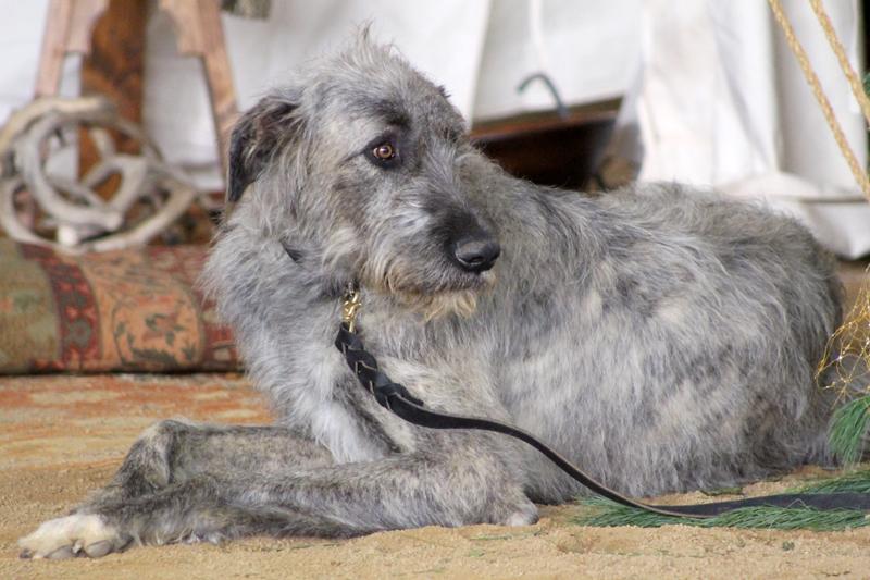 Wolfhound-1 6176