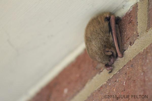Bat1168