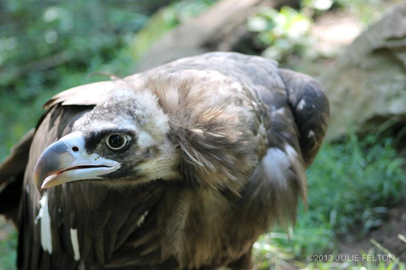 Vulture 5020