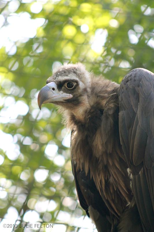 Vulture4982