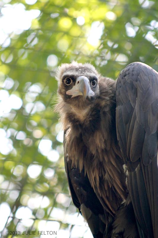 Vulture4983