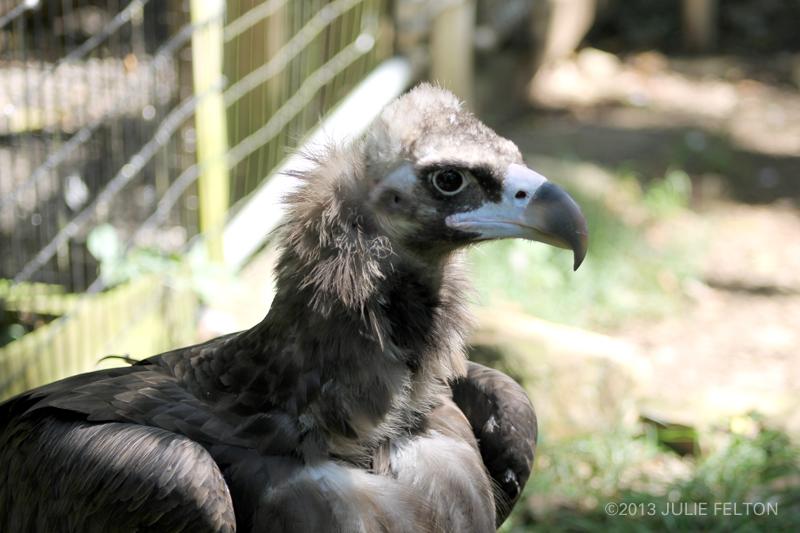 Vulture4990