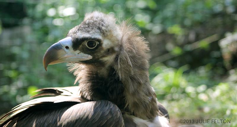 Vulture5001