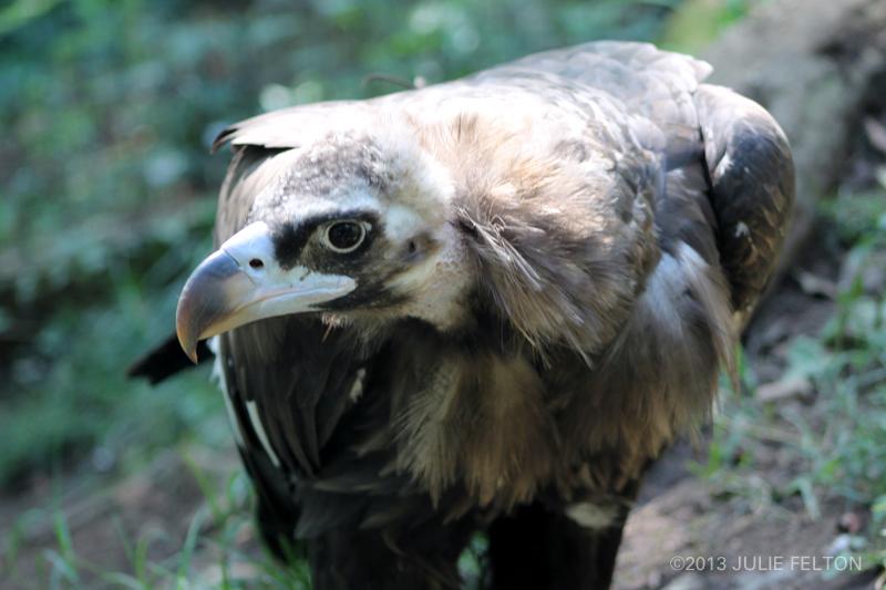 Vulture5011