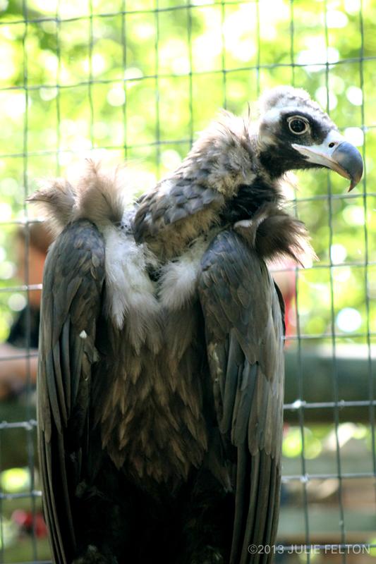 Vulture5017