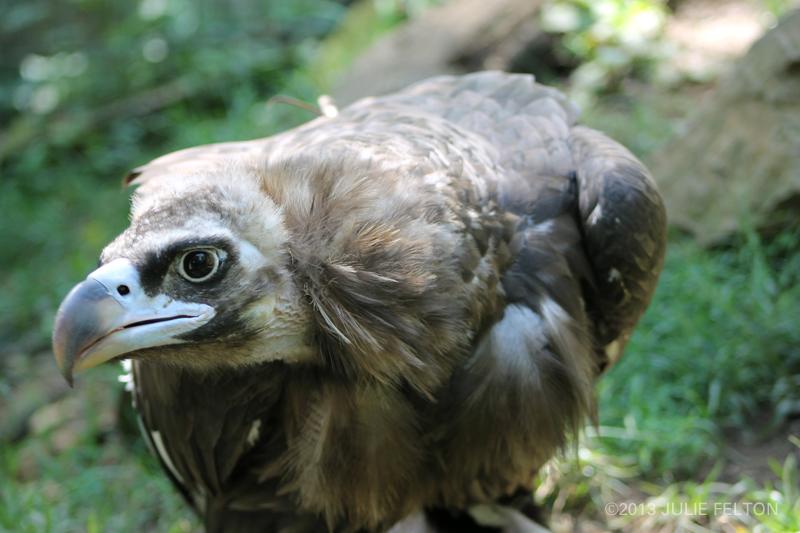 Vulture5021