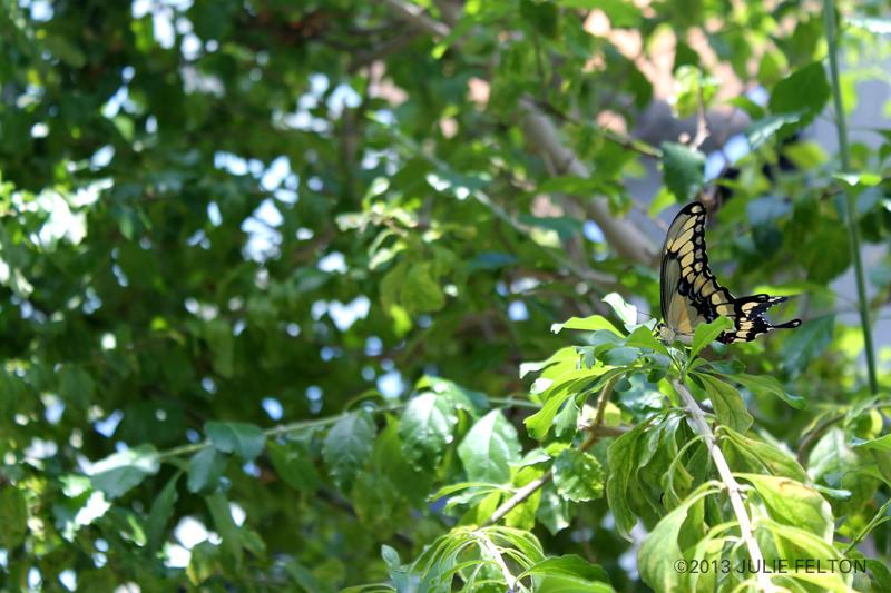 Butterfly 3081
