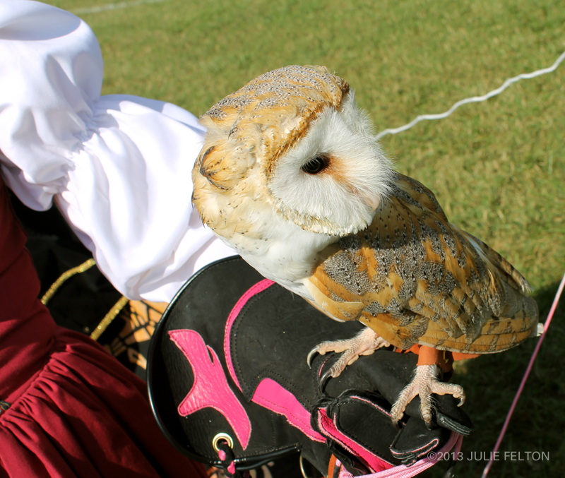Barn Owl 6071