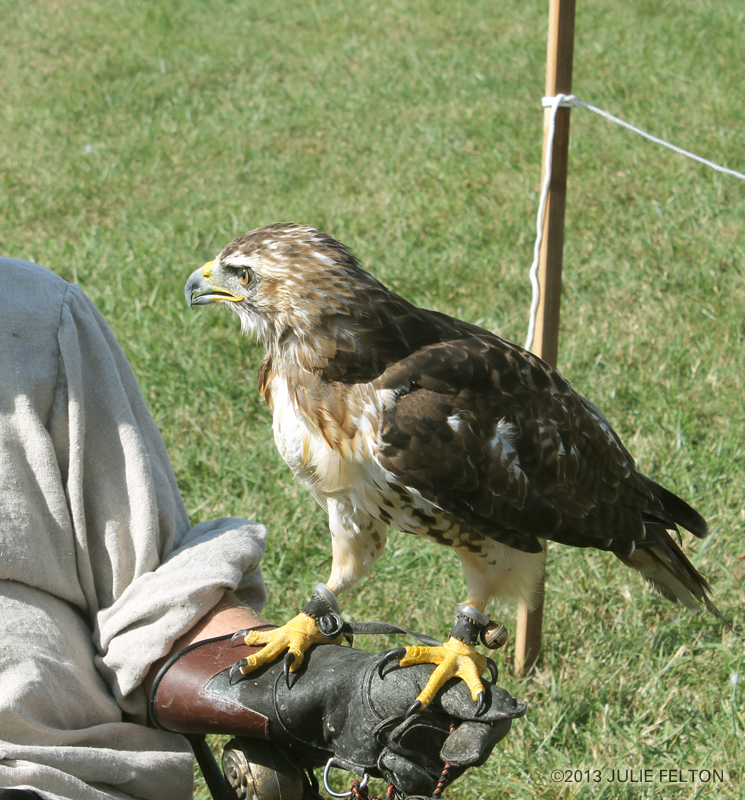 Red Tail Hawk 6057