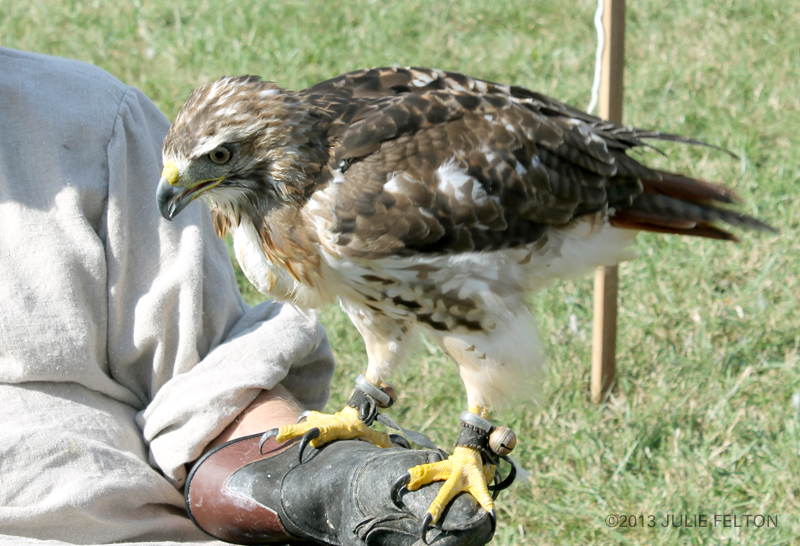 Red Tail Hawk 6059