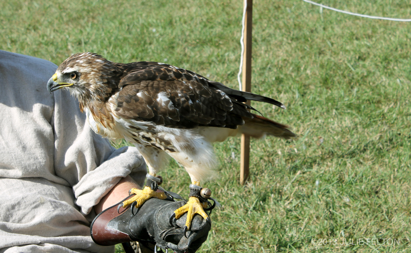 Red Tail Hawk 6060
