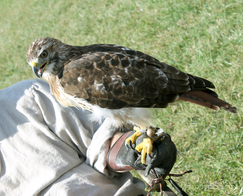 Red Tail Hawk 6061