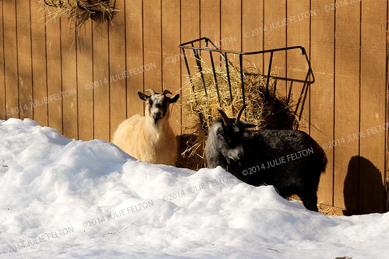 Goats 9813