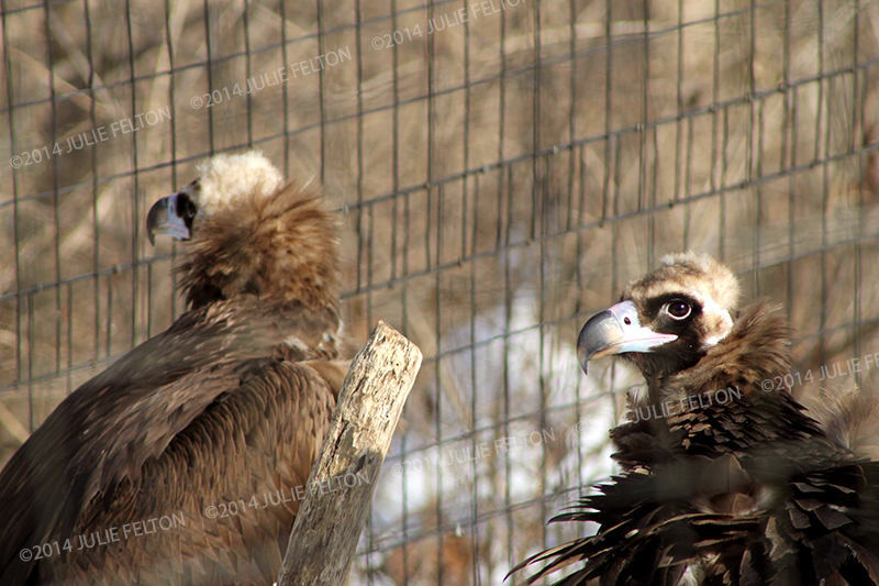 Vultures 9328