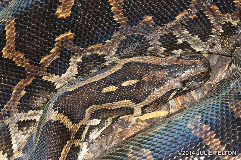 Burmese Python_C3_4624 (thumb)