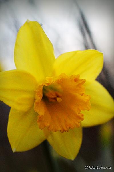 Daffodil_C5_2388 (thumb)