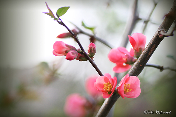 Peach Blossoms_C5_3625 (thumb)
