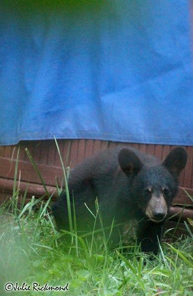 Bear cub_C6_6843 (thumb)