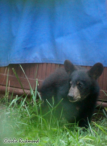 Bear cub_C6_6844 B (thumb)