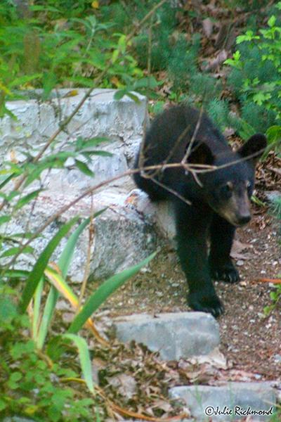 Bear cub_C6_6848 (thumb)