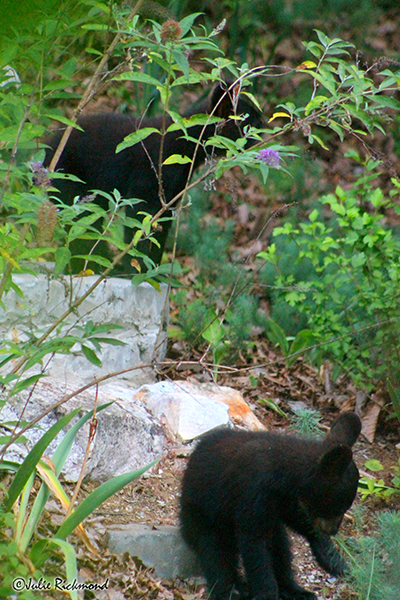 Bear cubs_C6_6830 (thumb)