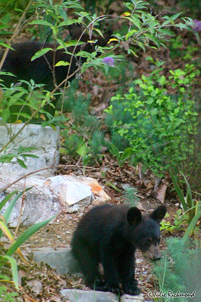 Bear cubs_C6_6833 (thumb)