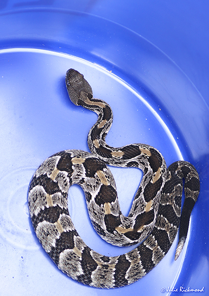 Rattlesnake_C6_5135 (thumb)