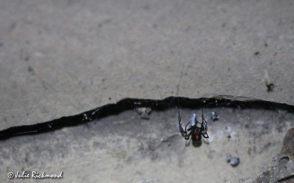 black-widow_c6_9868-thumb